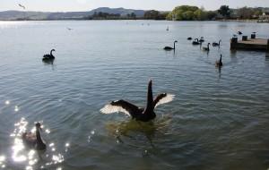 【罗托鲁瓦图片】纯净的新西兰6-Rotorua湖畔的黑天鹅