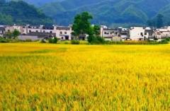【国庆 • 看稻浪】婺源 , 秋风把稻田吹成一片金黄 , 终归诗酒田园。