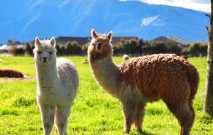 【但尼丁图片】【春の花样年华跨半球❤】新西兰自驾南岛14天| 2016国庆❤