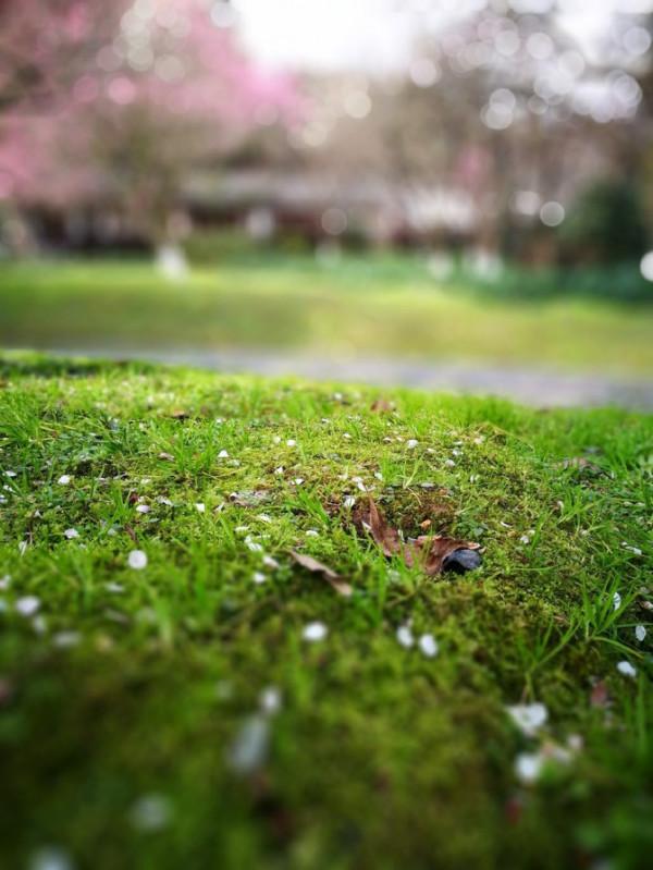 梅花花瓣飘落