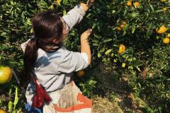 收获的季节|一起到新溪口采橘子