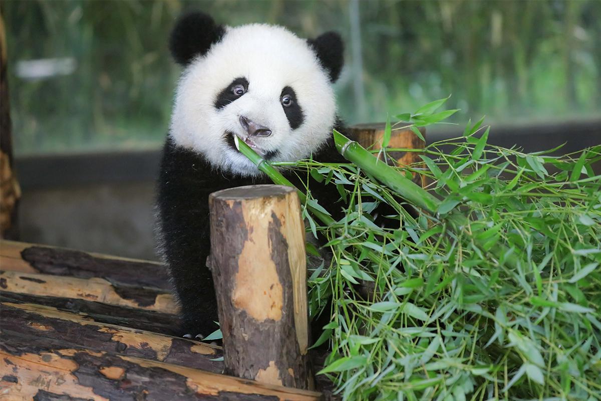 壁纸 大熊猫 动物 1200_800