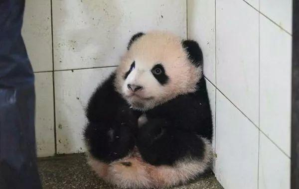 bbc有部纪录片《可爱回应》,认为大熊猫像人类的婴幼儿,满足了我们