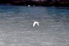 走近南极——南极雪燕(277)