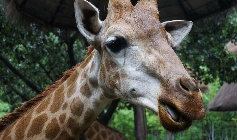 作为动物界的大长腿,长颈鹿一直保持着他高傲的姿态,长长的脖子,小巧