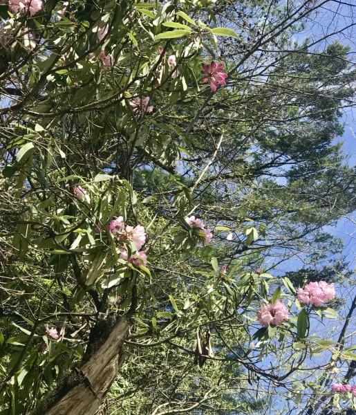 春天的林芝,桃花季,路边惊现白心球花报春盛开(报春花科,报春花属)图片
