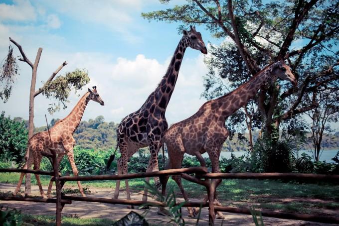 作为世界十大动物园之一,这里自然有他的特别之处,全园没有围杆和栅栏