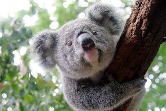 自然的理想去处,所以龙柏考拉动物园一直是游玩