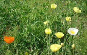 【北极图片】走上高高的兴安岭——大片大片野罂粟