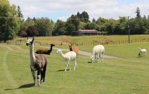 【罗托鲁瓦图片】新西兰最萌的动物...羊驼.国人称草泥马之二