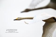 奔赴千里之外三门峡    近看远道而来白天鹅(20161221更新)