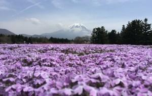 【青森县图片】樱花季自由行(四月下)