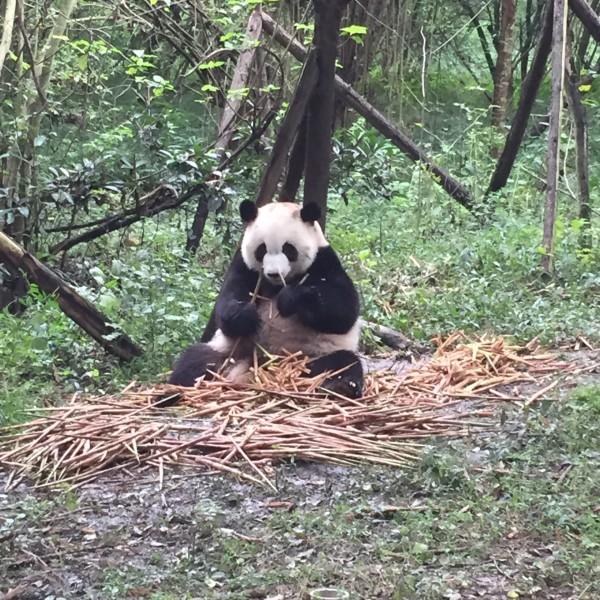 月亮产房的大熊猫宝宝们 简直可爱到无法形容 驻足好久 心都要化了