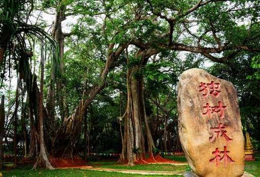 欣赏【独树成林】,它是一颗有着900多年历史的老榕树,大树位于